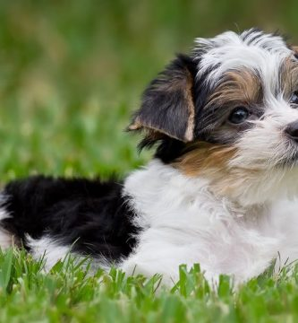 Yorkshire terrier blanco toy